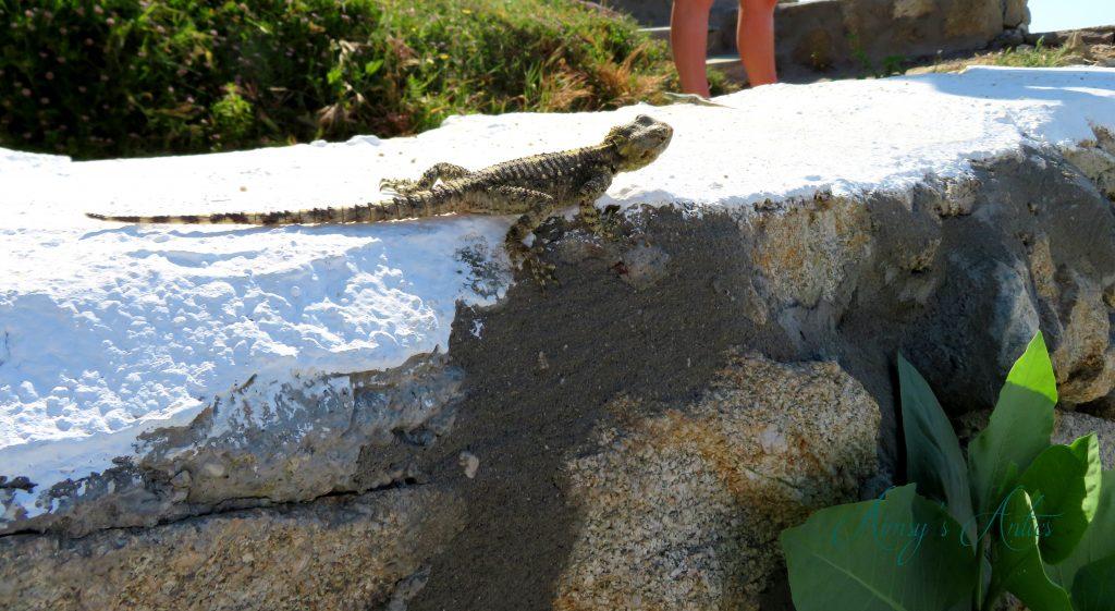 Lizard in Mykonos